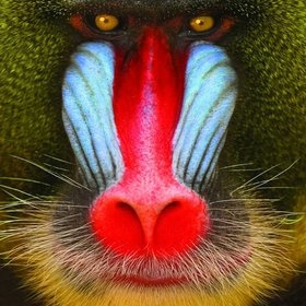 mandrill. related to baboons and more closely to the drills, the mandrill is both the largest monkey and the most colorful mammal.