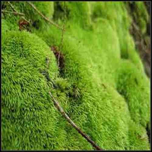 Landscaping With Irish Moss : Best images about irish moss on gardens