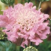 Scabiosa columbaria 'Pink Mist'. Suitable for Living Wall Wildlife Loving Plant. Click image to get care advice.     Other names: Small scabious 'Pink Mist', Scabiosa 'Butterfly Pink', Scabiosa 'Pink Mist'    Genus: Scabiosa    Variety or cultivar: 'Pink Mist' _ 'Pink Mist' is an upright, branched perennial with linear or lobed grey-green leaves and pink flowers with paler centres in summer and early autumn.