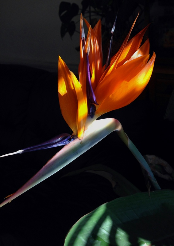 bird of paradise flower how to make
