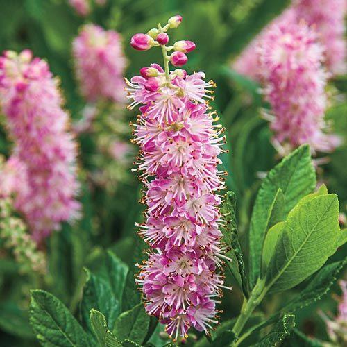 Ruby Spice Summersweet | Spring Hill Nurseries