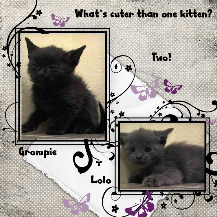 nyc July 22'14 ~Meet Cute Kittens Grompie & Lolo! AC&C NYC - Manhattan Center. Meet Grompie and Lolo today and become charmed instantly by their snuggles! Grompie: A1007308, American SH Mix, Male, 5 Weeks, Stray, 1.0 lbs. BRIGHT, ALERT, RESPONSIVE, 3 kittens A1007308, 309, 311 came togethercame without nursing queen start to eat on own, has good app https://www.facebook.com/nycurgentcats/photos/a.376300362387957.91562.220724831278845/830974116920577/?type=1&theater