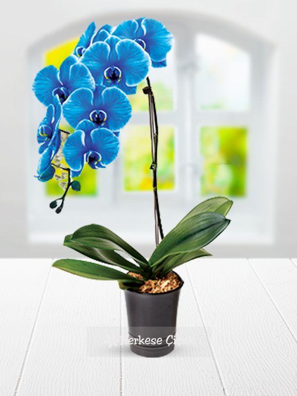 Mavi Orkide ile sevdiklerinizin farklı güzellikler yaşamasını sağlayın http://www.herkesecicek.com/mavi-su-perisi.html