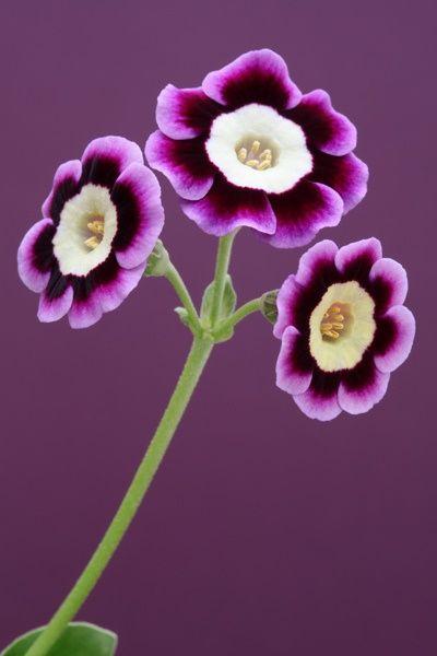 des noms de fleurs en anglais c'est mieux non ? Blue Heaven, Auricula ~ Magical