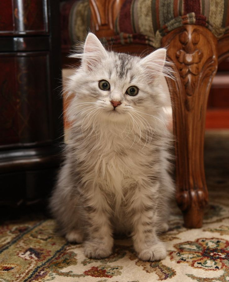 SIBERIANO es un gato nativo de la zona oriental de Rusia, específicamente de la fría región de Siberia y probablemente sea el resultado del cruce entre el gato europeo y el gato salvaje de los bosques siberianos.