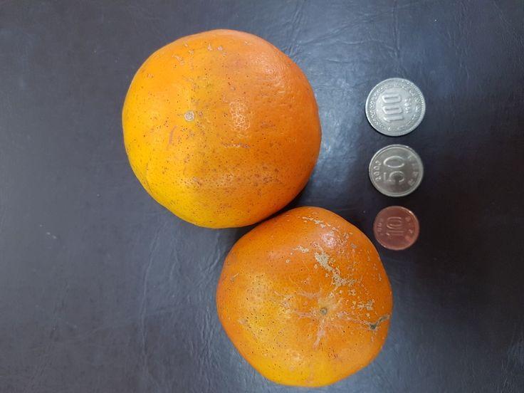 제주도 #감귤 #Jejudo #tangerine #Korea #제주도  #대한민국 #한국   #KBS강주환 직원 장모님 선물