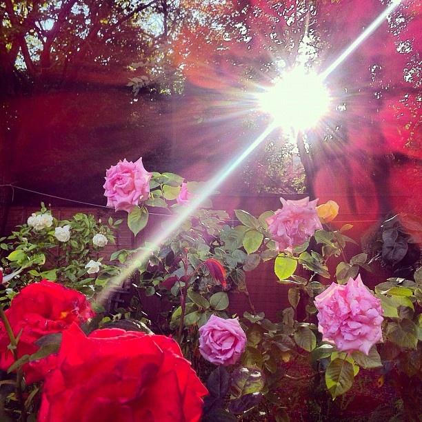 Roses in Alyssa's gardenAlyssa Gardens