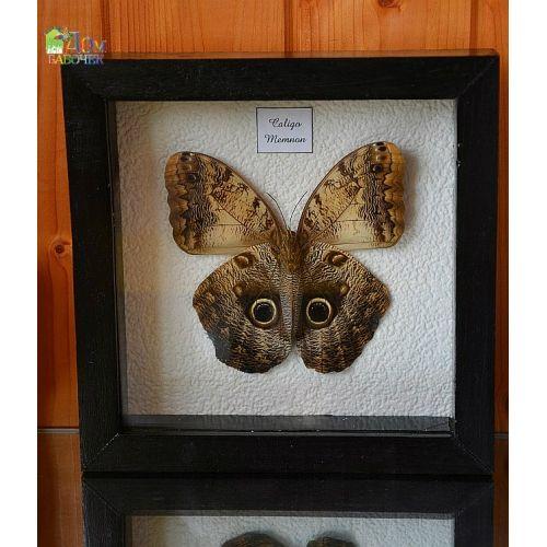 Бабочка Сова - Калиго Мемнон в рамке