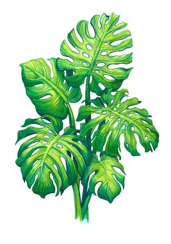 Monstera Art Print By Sanjana Baijnath Plant Art Watercolor Wall Art Tropical Illustration