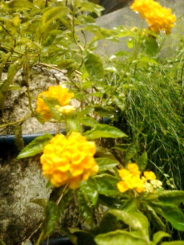Yellow Verdana