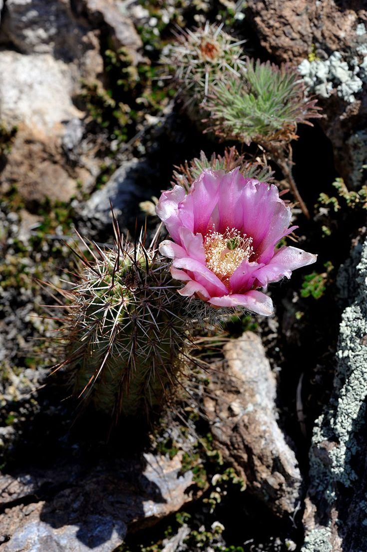 Echinocereus engelmannii subsp. fasciculatus, USA, Arizona, Pinal Co.  More Pictures at: http://www.echinocereus.de
