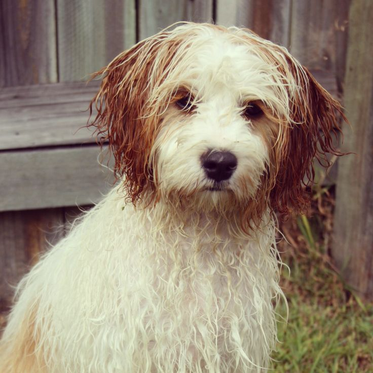 Cavoodle, Cavapoo, Jet Cavoodle via myoodle.com MyOodle, My Oodle, Oodle, Doodle, Dog, Poodle, Poodle Mix, Poodle Hybrid, Cute Dog