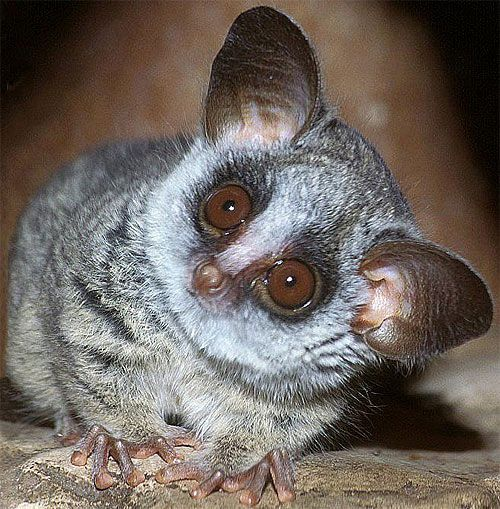 "The galago or bush baby is a small primate which can be found across many countries, mainly in Africa. No one is really sure how the term ""bush baby"" came to be used but it has been suggested that the name is either due to their appearance or their sharp cry. This species is a very small primate which has an average size of approximately 5 inches (13 cm)."