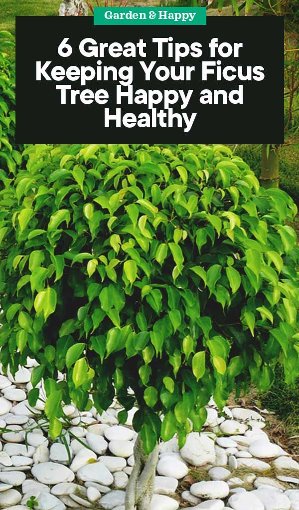 6 Tips For Keeping Your Ficus Tree Happy And Healthy Ficus