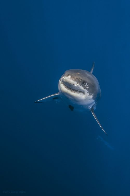 Great white shark rising from the deep (by George Probst)