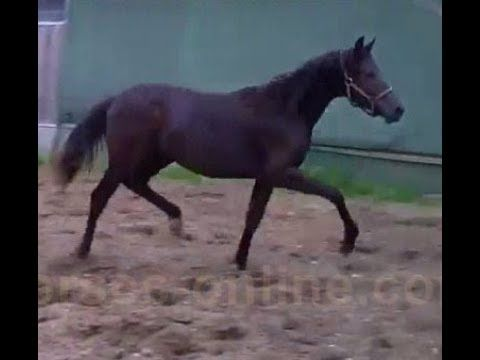 2016 Hannoverian by MILLENIUM for sale www.sporthorses-online.com