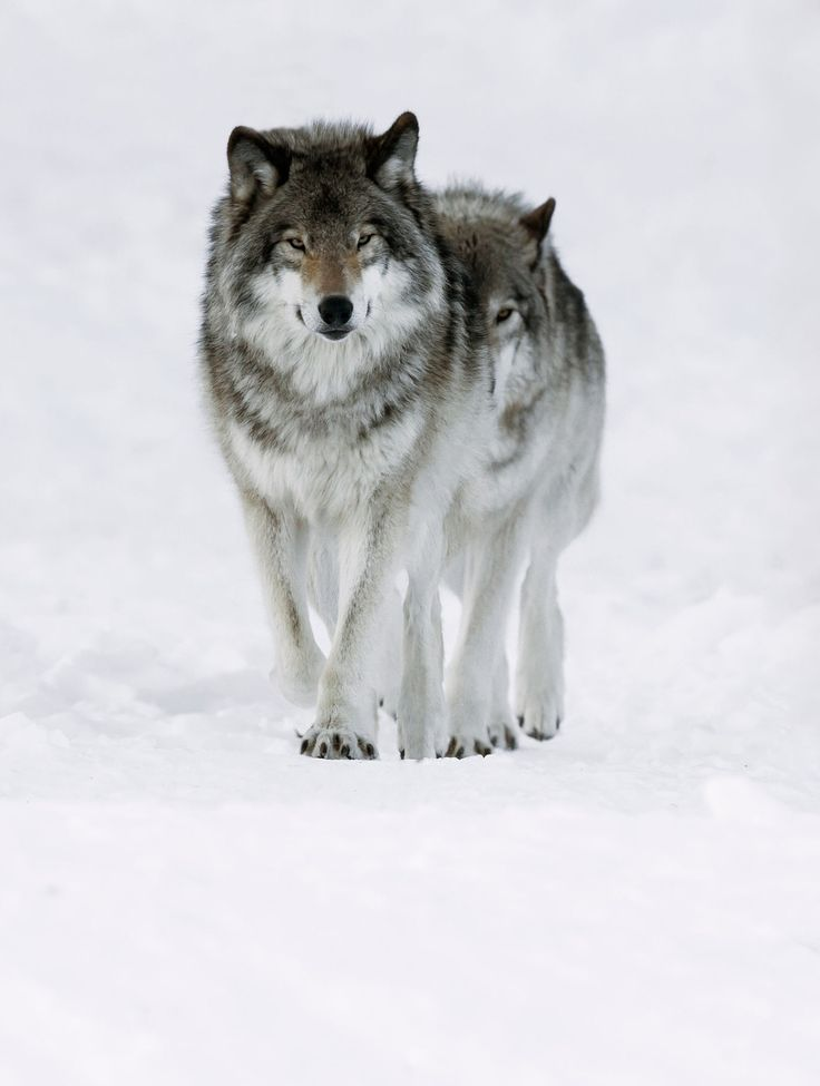 The Beauty of Wildlife Grey Wolves by Steven Rose