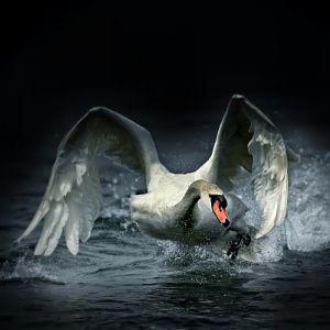 A swan very angry .. by Edmondo Senatore