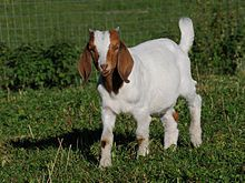 The Boer goat is a breed of goat developed in South Africa in the early 1900s for meat production.
