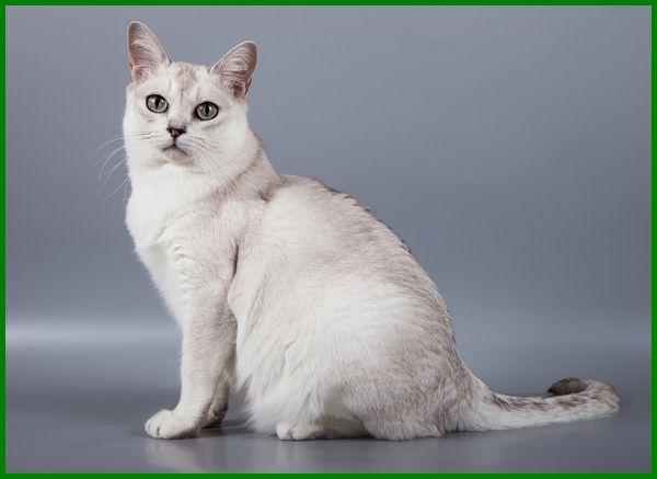 7 Jenis Kucing Peliharaan Yang Langka Daftarhewan Com Kucing Hewan Peliharaan Burmilla