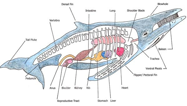 Image Gallery humpback whale body parts
