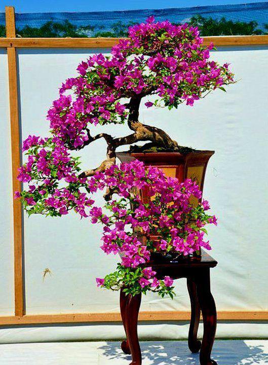 Bougainvillea – Uma das mais belas florações. | Aido Bonsai