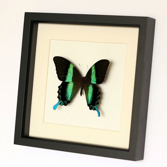 The peacock swallowtail is one of the stars of the butterfly world with its vibrant green colors. Learn some cool facts about this butterfly with