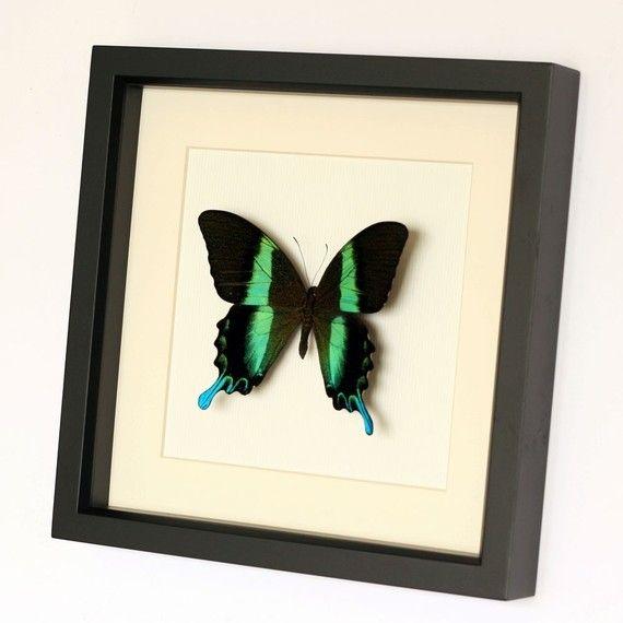 Peacock Swallowtail Framed Butterfly Museum by BugUnderGlass