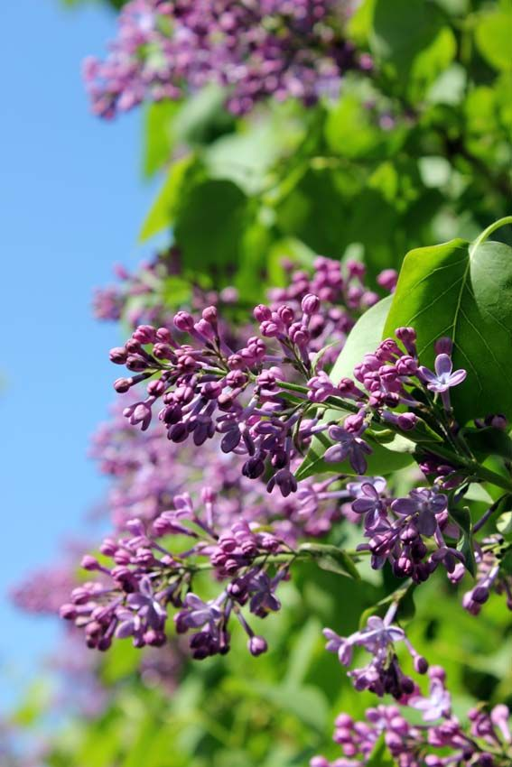 Time for lilacs in Suomenlinna is a little befor midsummer usually. If the early summer is cold, the lilacs may stay over mid summer.
