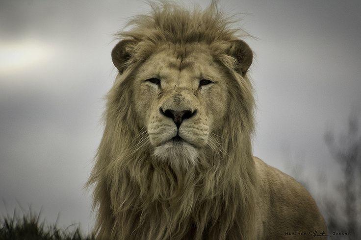 White Lion #TorontoZoo