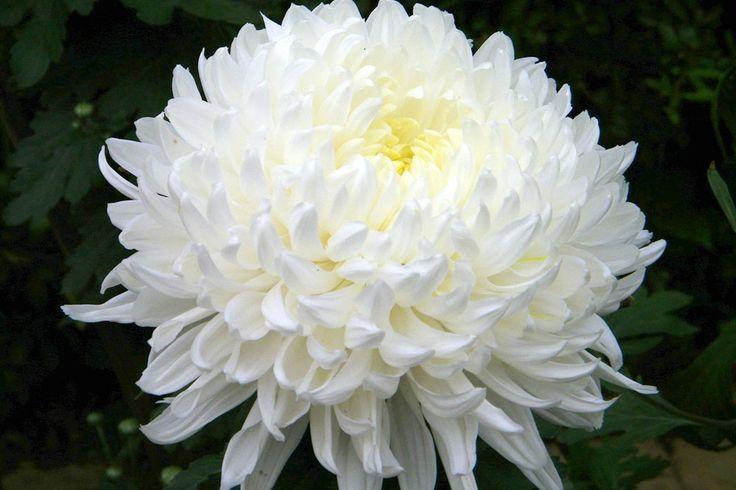 chrysanthemum disbud - Google Search