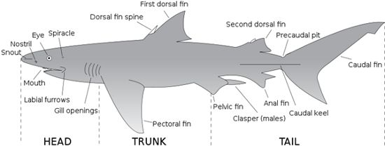 This site is a great way to teach students about the anatomy and inner workings of a shark. The site provides a visual representation of the shark and then provides further detail for each of the body parts. The site also has interesting facts about sharks that many people do not know about.