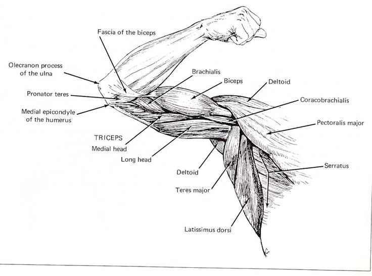 Arm Muscles Anatomy Coloring Pages