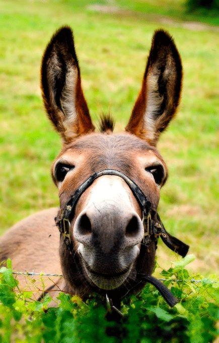 donkey, donkey.Cute Animal, Except, Animal Photography, Farms, Ears, Donkeys, Baby Animal, So Funny, Kisses