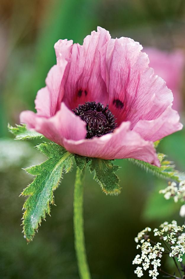 Papaver orientale 'Patty's Plum'  Hardiness - H7 (very hardy) Cultivation - Grow in deep, fertile, well-drained soil in full sun or partial shade. May need support Pruning - Cut down once flowers fade and foliage looks tatty