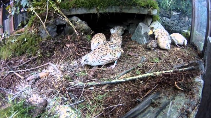Amazing outdoor part of a quail cage with small waterstream, moss, stone hiding place and woodchips.