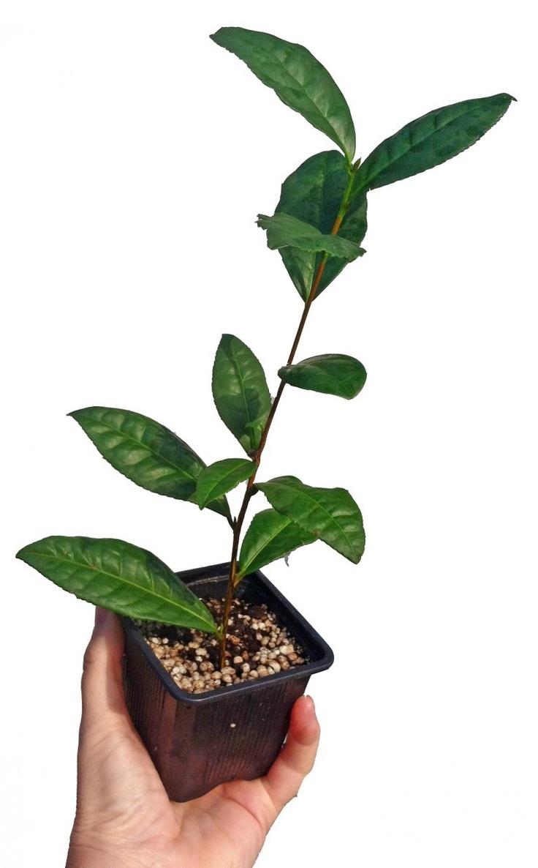 Grow Your Own Tea Garden Patio Pinterest Grow Your