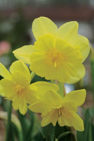 8 best narcissus images on pinterest daffodils daffodil bulbs and tripartite 11a y y the first multiflowered split corona narcissus also has a mightylinksfo