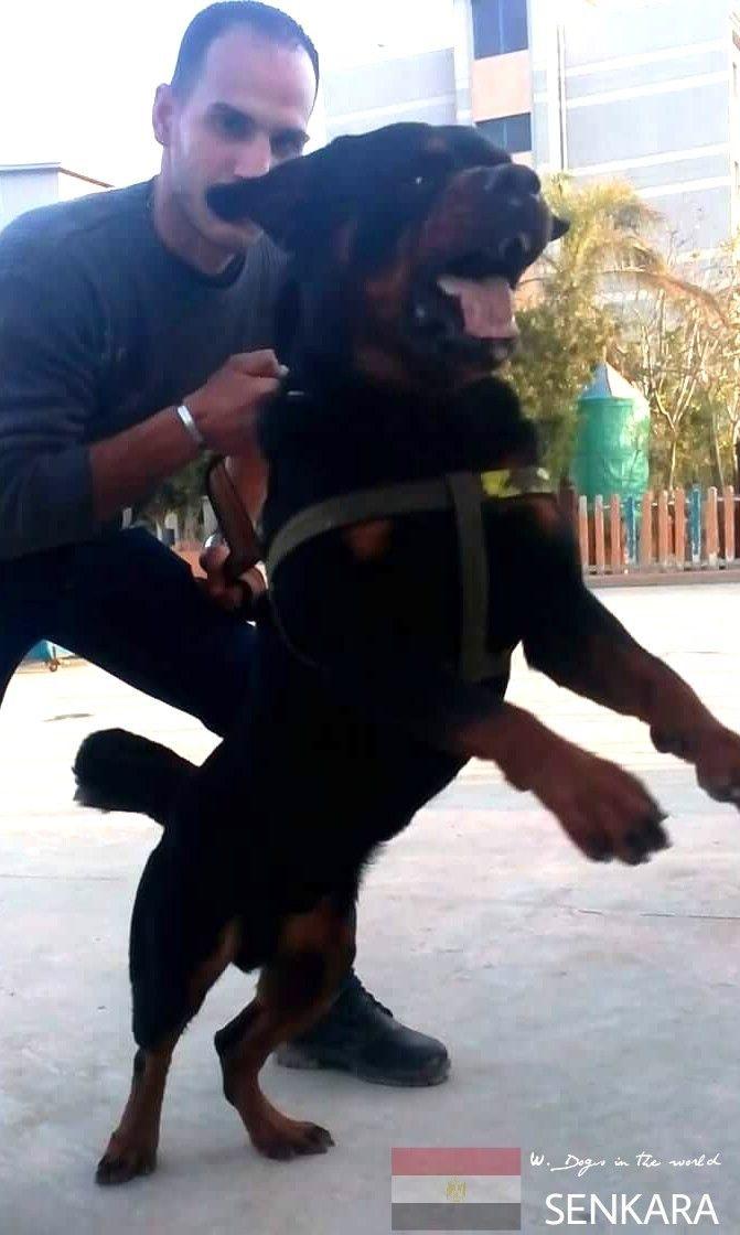 Senkara From Egypt Rottweiler Rottie Best Dogs