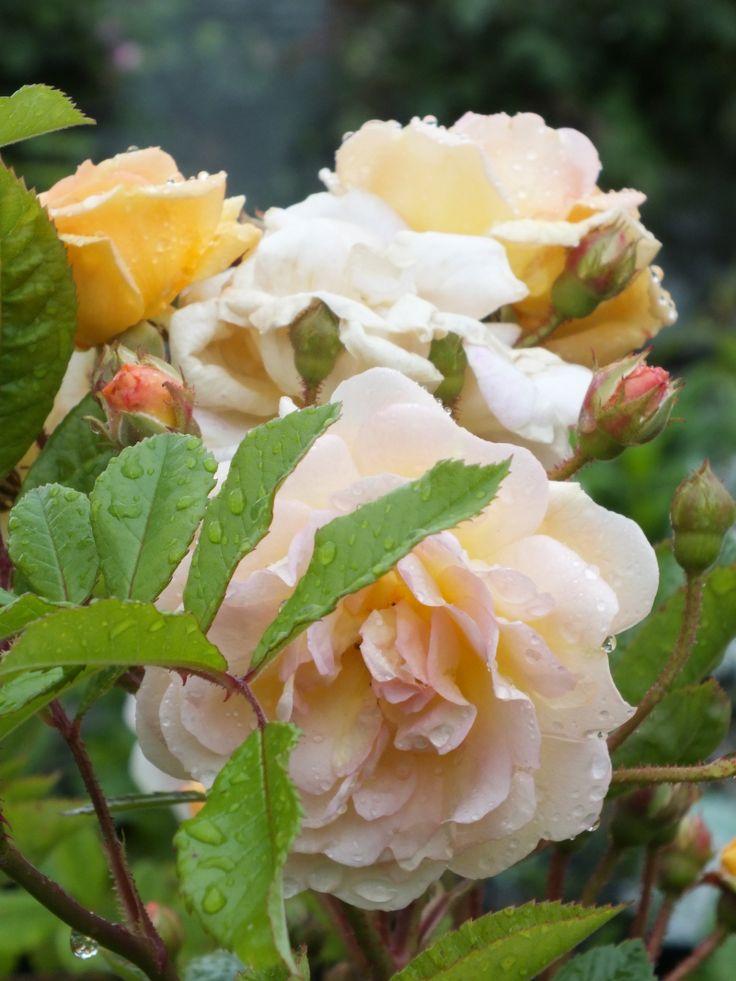 'Ghislaine de Feligonde' | Hybrid Multiflora Rose. Eugène Turbat & Compagnie 1916