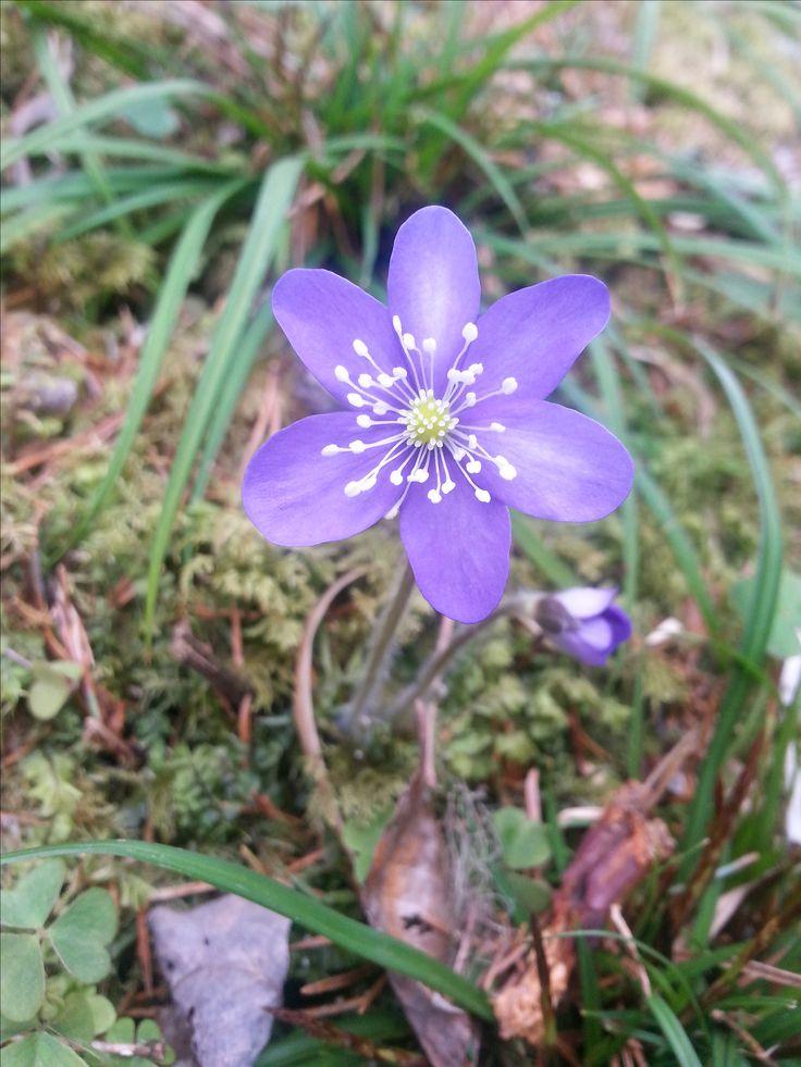 blåveis Norwegian spring flower