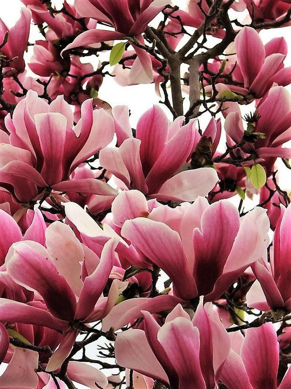 5 Lily Magnolia Flower Tree Pink Purple Fragrant Tulip Japanese Magnolia Tree Magnolia Flower Beautiful Flowers