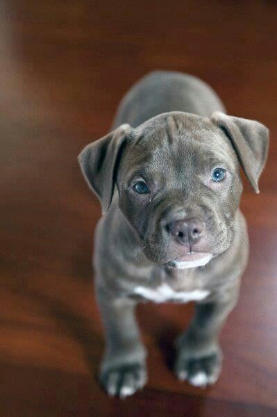 I so hope 2014 will finally be the year I live somewhere I can have a dog. (Pit bull puppy!)