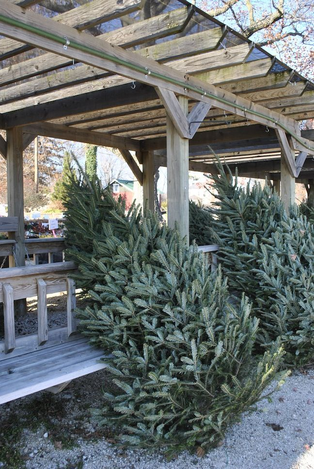 Fresh cut Christmas Trees just in at #starkbros #gardencenter - I am headed to Stark Brothers this weekend.