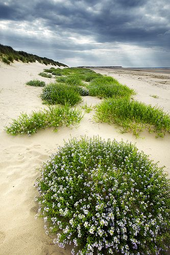 The Dunes of Thrift: Gun Hill, Norfolk    Thrift grows along the shore, its purple flowers and green leaves in contrast the the hot white sands.  The rain on its way held in the heavy clouds floating above the dunes.  The tide is out and the summer's warm breeze whips the sand past your feet.