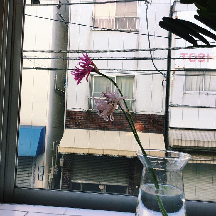 """こんにちは。今週のbedroom花図鑑は、「ネリネ」の紹介です。 ネリネは南アフリカ原産のヒガンバナ科の球根植物です。 名前は、ギリシャ神話の海の女神ネレイデスにちなみます。 10月から12月にかけて白やピンク、赤、オレンジ、紫などの花を咲かせます。 5月頃から葉を枯らして球根の状態で休眠し、夏を越します。 花弁が光に当たるとキラキラと宝石のように光ることから """"ダイヤモンドリリー""""の別名でも親しまれております。 同じヒガンバナ科のリコリスとは類似点が多いです。交雑も可能で、生態も似ています。相違点の1つは原産地です。リコリスが日本を含む東アジアを中心に約20種自生するのに対し、ネリネは南アフリカという限定された地域に約50種自生します。 17世紀頃からイギリスを中心に盛んに品種改良が行われ、日本には大正時代に伝わってきました。当時はあまり広まりませんでしたが、近年は花持ちが長く多様な花色を楽しめることから人気の花です。現在もアメリカやニュージーランドで盛んに品種改良が行われており、日本でも育種が行われております。 今回はネリネにクローズアップしました。 bed..."""