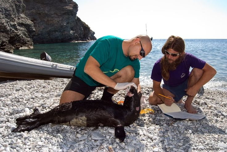 """The Greek-Dutch biologist Dr. Alexandros Karamanlidis, a researcher working with the Hellenic Society for the Study and Protection of the Monk Seal (MOm), has been awarded the Society for Marine Mammalogy """"Conservation Merit"""" prize for his work to protect the Mediterranean monk seal."""