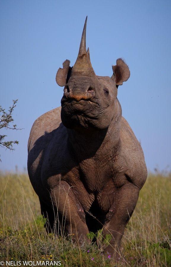 BLACK RHINOCEROS - Diceros bicornis . . . Also Hook-Lipped Rhinoceros . . . Kenya, Tanzania, Cameroon, Angola, Namibia, Zimbabwe, South Africa . . . Photo: Nelis Wolmarans