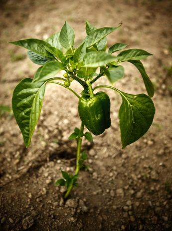 Many people grow peppers in vegetable gardens without any serious issues. However, pepper plant problems do happen now and then. Read this article to learn about common pepper plant problems and how to fix them.