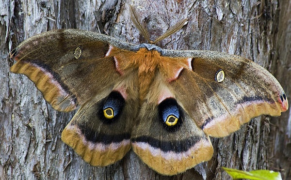 Antheraea Polyphemus Moth.This beautiful moth was featured in Butterfly's and Moths on Fine Art America